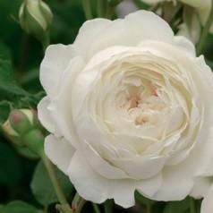 Rose Claire Austin - Engelsk Slyngrose