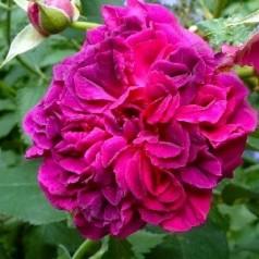 Rose Darcey Bussel / Engelsk Rose