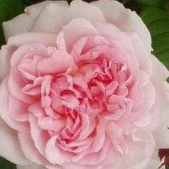 Rose Eglantyne / Engelsk Rose