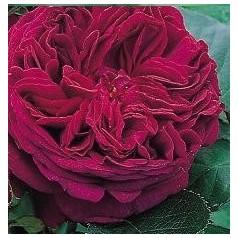 Rose Falstaff / Engelsk Rose