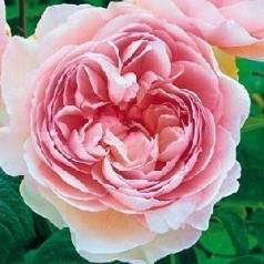 Rose Gentle Hermione / Engelsk Rose