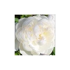 Rose Glamis Castle / Engelsk Rose