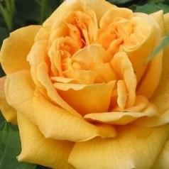 Rose Golden Celebration / Engelsk Rose