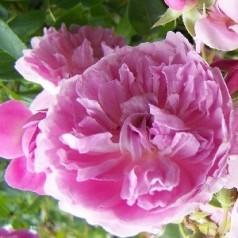 Rose Harlow Carr / Engelsk Rose
