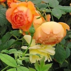 Rose Lady of Shalott / Engelsk Rose