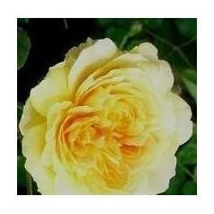 Rose Molineux / Engelsk Rose
