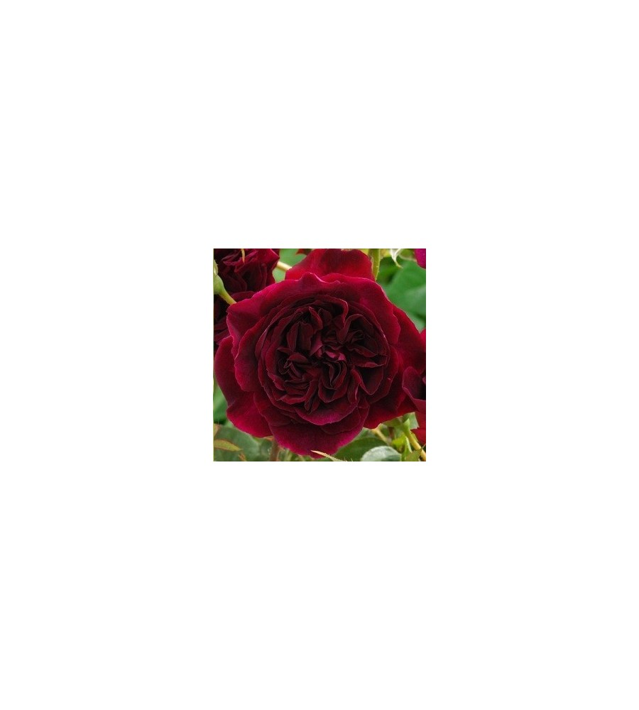 Rose Munstead Wood / Engelsk Rose