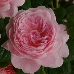 Rose Queen of Sweden / Engelsk Rose