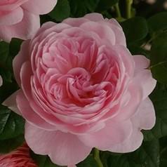 Rose Queen of Sweden / Engelsk Rose