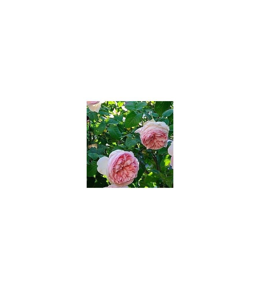 Rose Sharifa Asma / Engelsk Rose