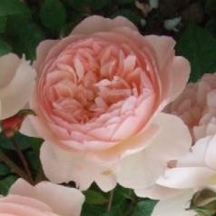 Rose The Generous Gardener - Engelsk Slyngrose