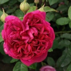 Rose The Dark Lady / Engelsk Rose
