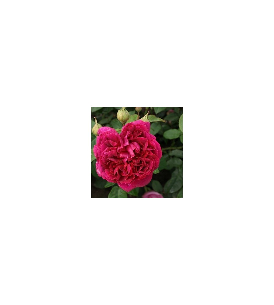 Rose The Dark Lady / Engelsk Rose
