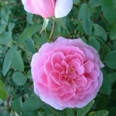 Rose The Mayflower / Engelsk Rose