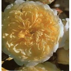 Rose The Pilgrim / Engelsk Rose