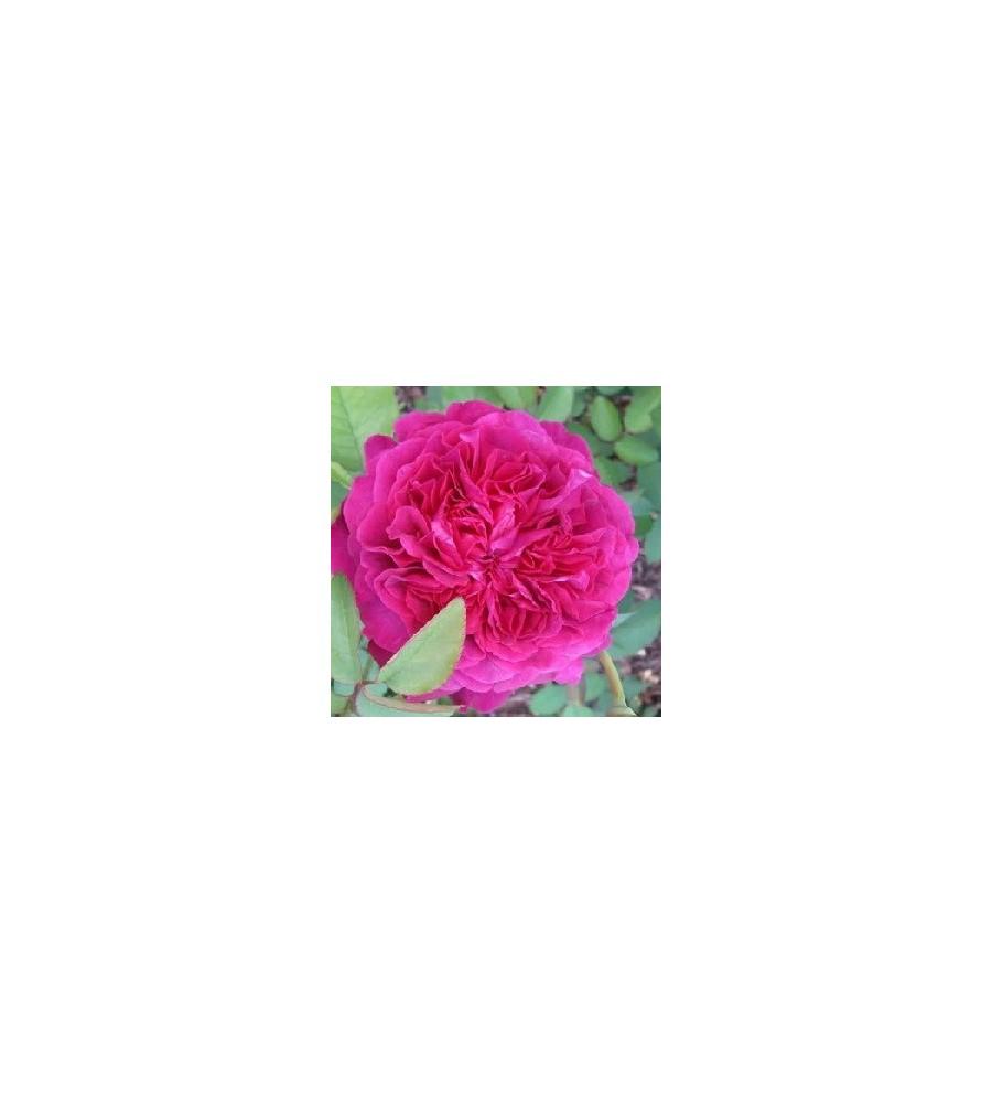 Rose William Shakespeare 2000 / Engelsk Rose