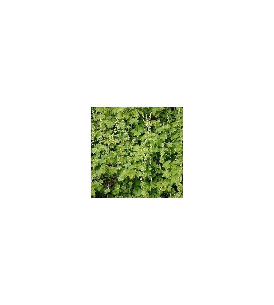 Tellima grandiflora / Biskophat