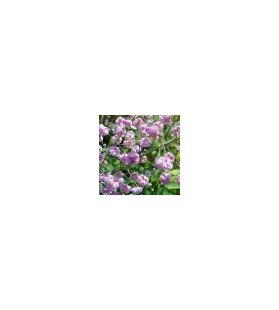 Thalictrum delavayi Hewitts Double / Violfrøstjerne