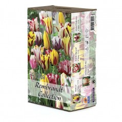 Tulipan blanding - Tulipa Rembrandt Collection