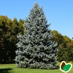 Blågran 30-50 cm. - Bundt med 10 stk. barrodsplanter - Picea pungens Glauca _