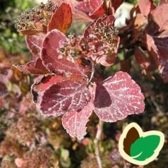 Birkebladet Spiræa Tor 40-60 cm. - 10 stk. barrodsplanter - Spiraea betulifolia Tor _