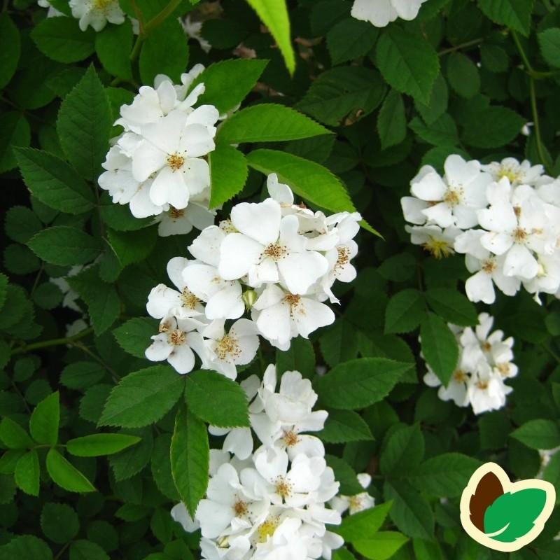 Mangeblomstret Rose 50-80 cm. - Bundt med 10 stk. barrodsplanter - Rosa multiflora _