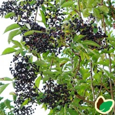 Storfrugtet Hyld Sampo 80-120 cm. 10 stk. barrodsplanter - Sambucus nigra Sampo _