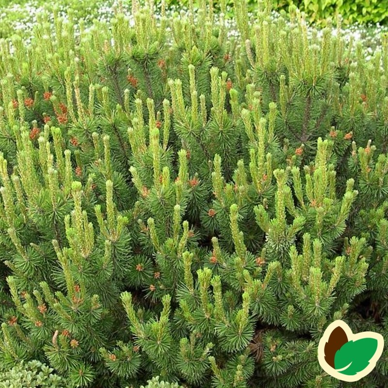 Dværgfyr 12-25 cm. - Bundt med 10 stk. barrodsplanter - Pinus mugo Pumilio _