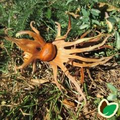Tyrkisk Hassel 50-80 cm. - Bundt med 10 stk. barrodsplanter - Corylus colurna _