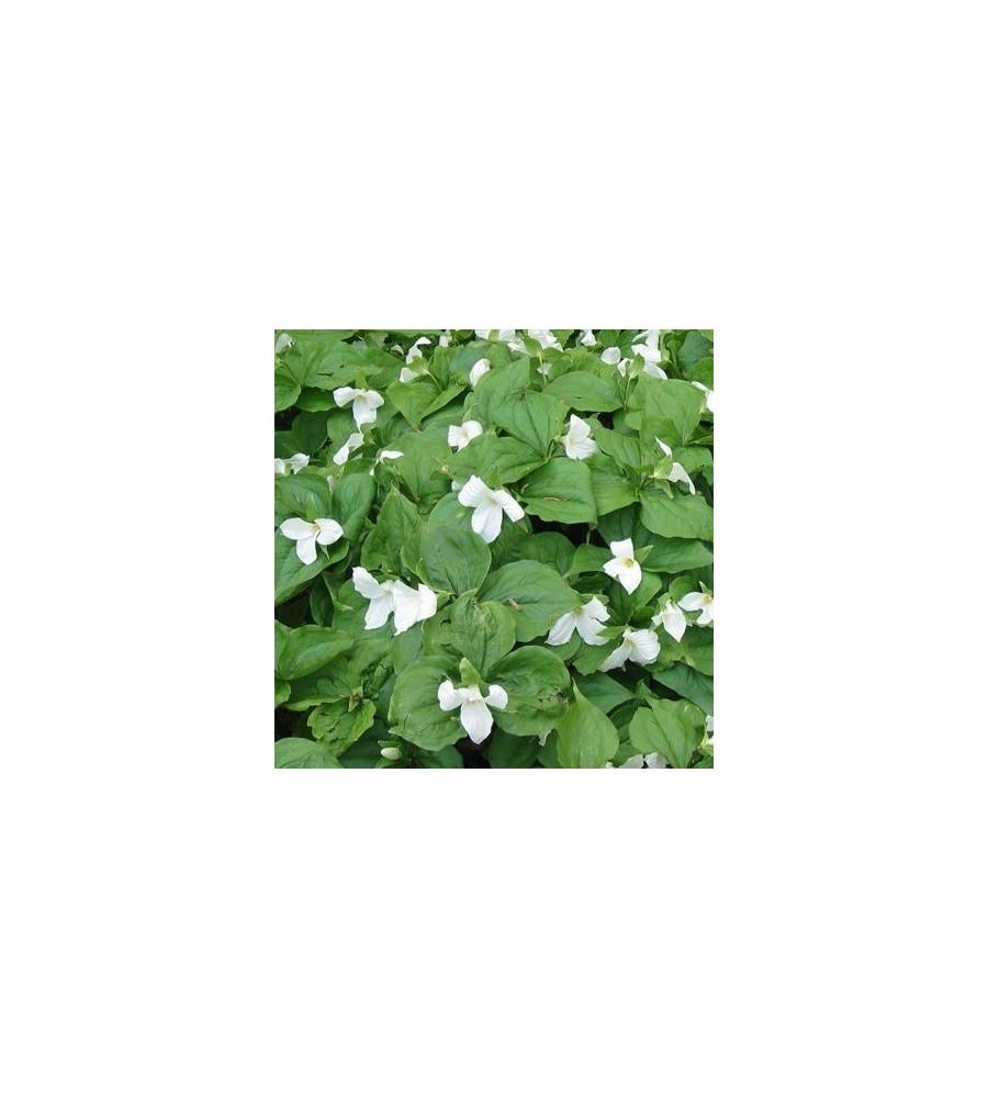 Trillium grandiflorum / Treblad