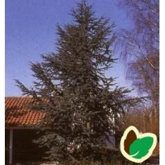 Cedrus libani Glauca - Blå Atlasceder // 125-150 cm.