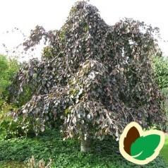 Fagus sylvatica Purpurea Pendula - Blodhængebøg / 100-125 cm.