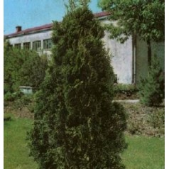 Thuja occidentalis Brabrant // 80-100 cm.