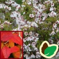 Prunus incisa Kojou No Mai - Fuji Kirsebær - 80 cm. stamme.