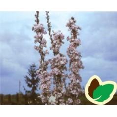 Prunus serrulata Amanogawa - Japansk Søjlekirsebær / 100-125 cm.