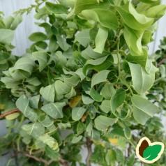 Robinia Twisty Baby - Trold Akacie / 150 cm. stamme