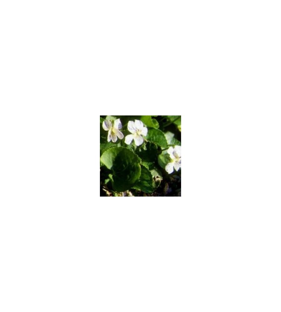 Viola odorata Albiflora / Martsviol