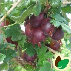 Tornfattig Stikkelsbær Larell