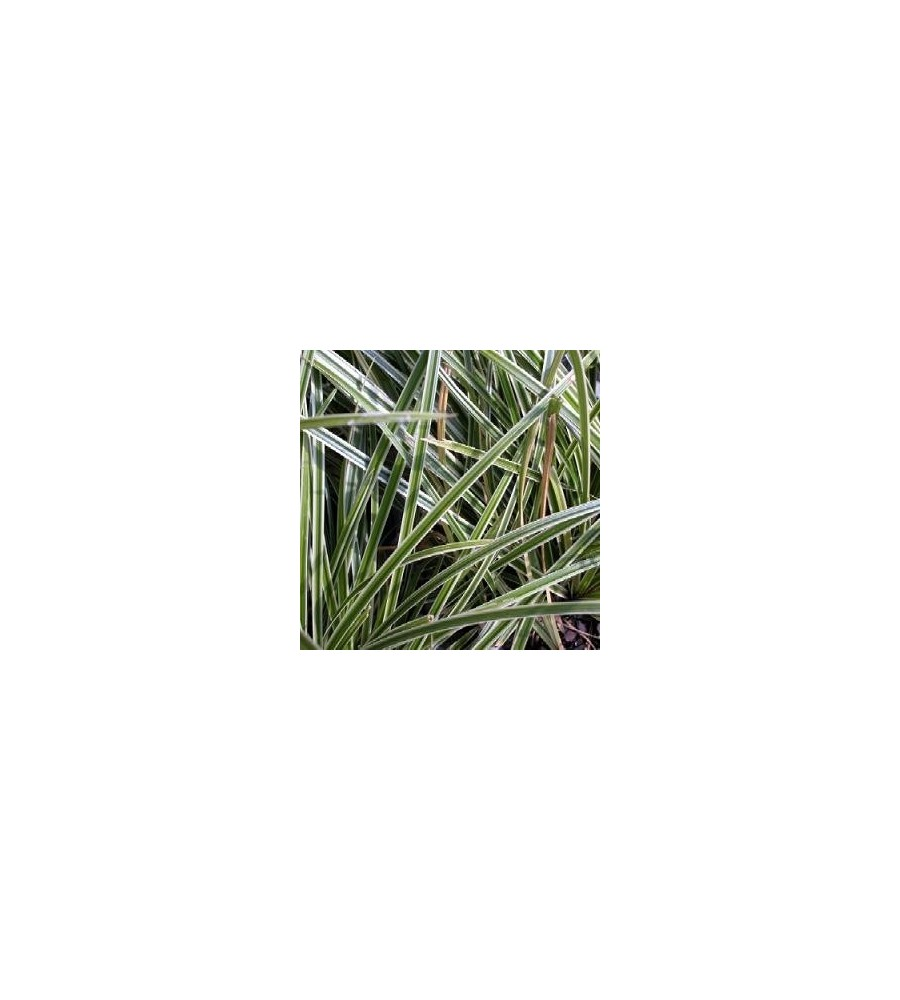 Carex morrowii Ice Dance / Star