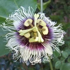 Passiflora edulis - Passionsblomst