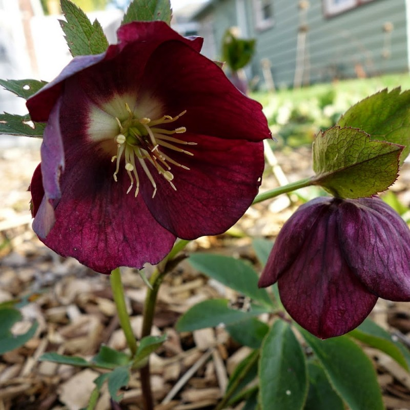 Helleborus Metallic Blue Lady