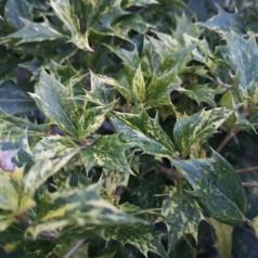 Osmanthus heterophyllus Tricolor / Djævlebusk
