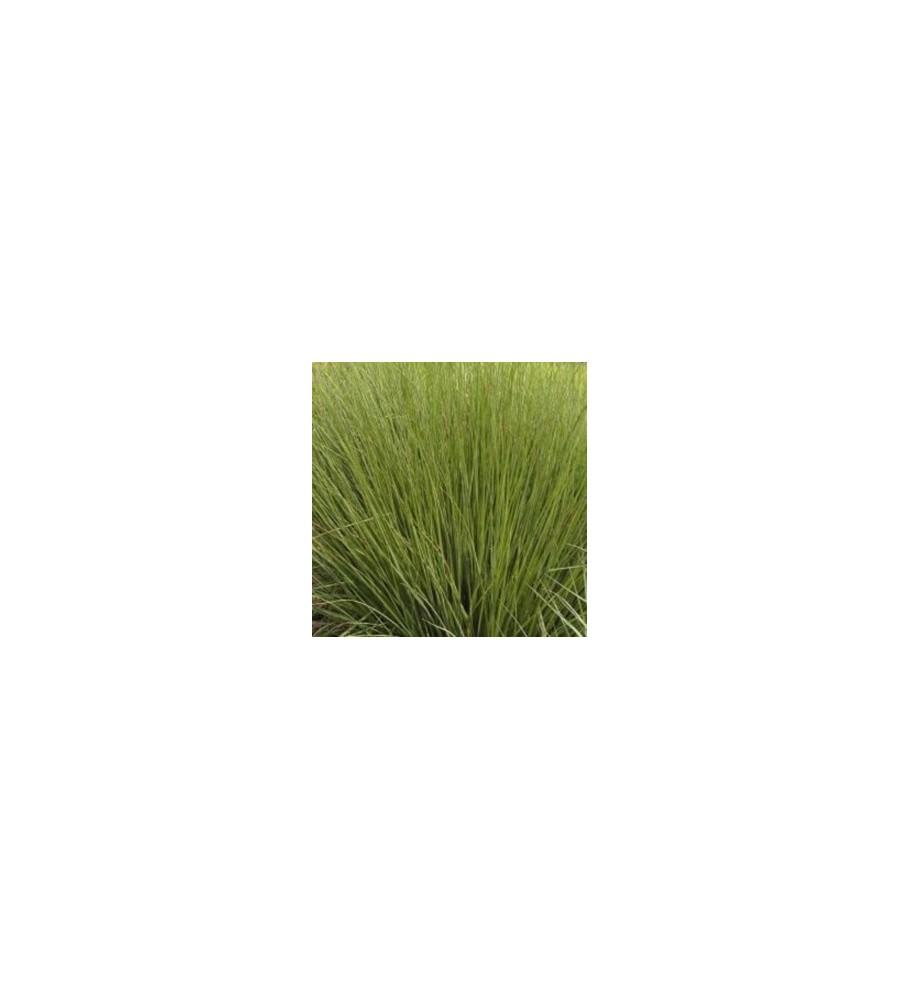 Molinia caerulea Moorhexe / Pibegræs