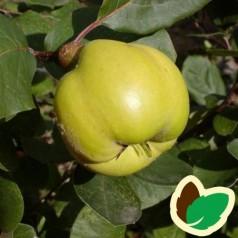 Pærekvæde - Cydonia oblonga Robusta