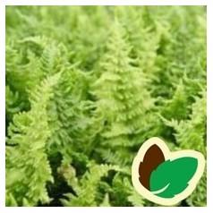 Woodsia obtusa / Alm. Frynsebregne
