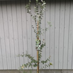 Eukalyptus - Eucalyptus gunnii 150-175 cm. Topklippet