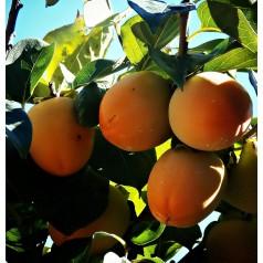 Sharon frugt - Kakitræ - Diospyros Kaki
