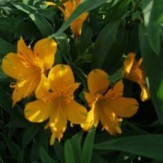 Alstroemeria aurantiaca Lutea / Inkalilje