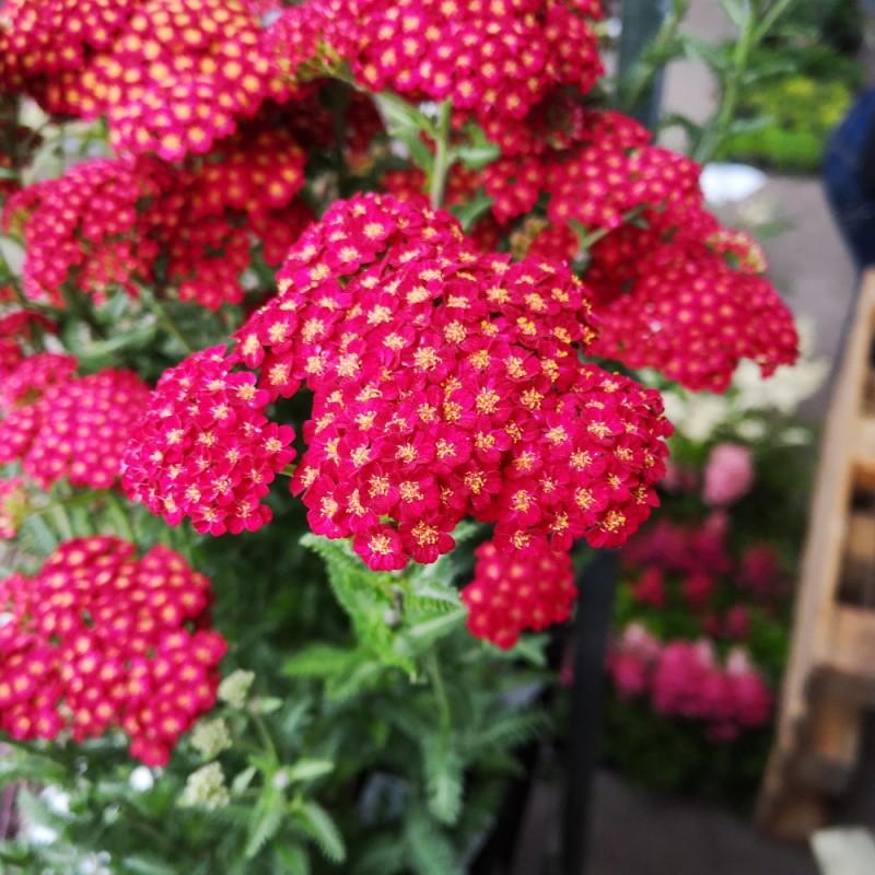 Achillea millefolium Red Velvet - Røllike