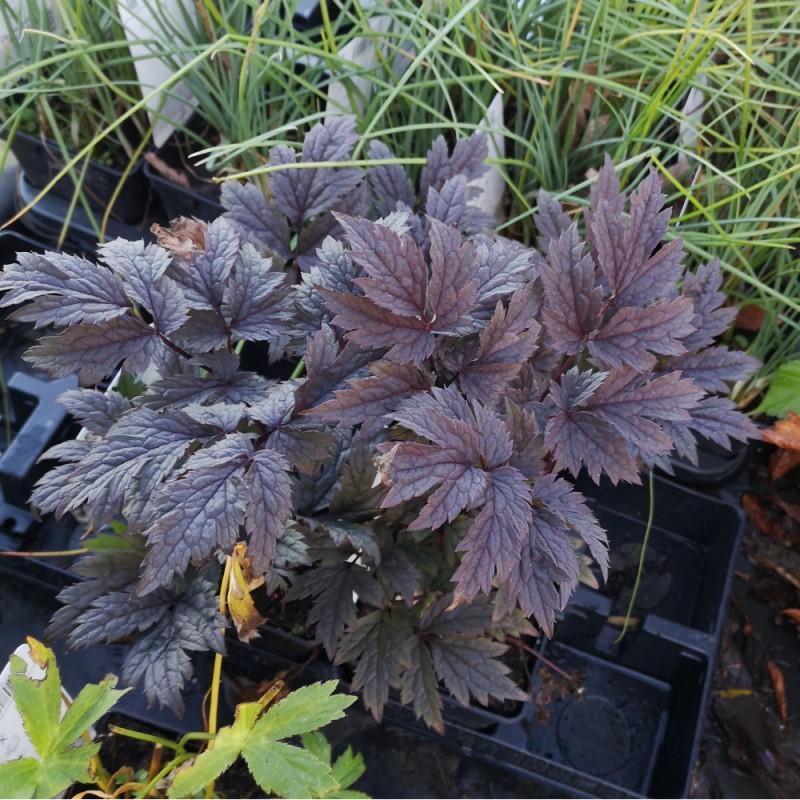 Actaea simplex Chocoholic - Sølvlys (Cimicifuga ramosa Chocoholic)